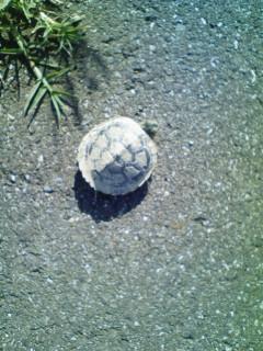 亀は意外と速く歩く